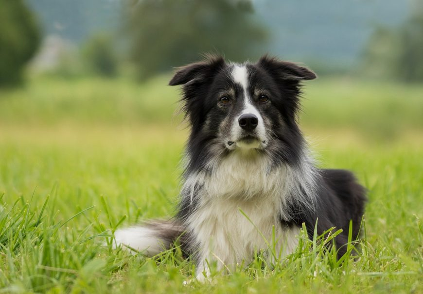 border-collie-2184706_1280
